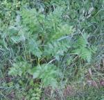 Leaf pattern of wild parsnip
