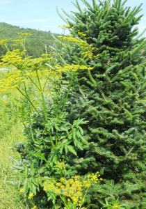 wild parsnip flowering next to a Christmas tree