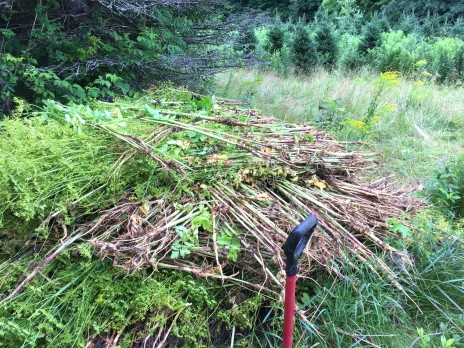 Wild parsnip pulled from the rows of Christmas trees and piled for drying.